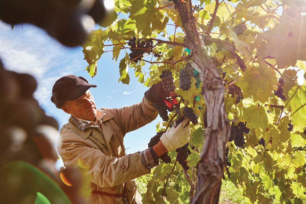 Grape Harvest at Lautenbachs-John Nienhuis-DCVB