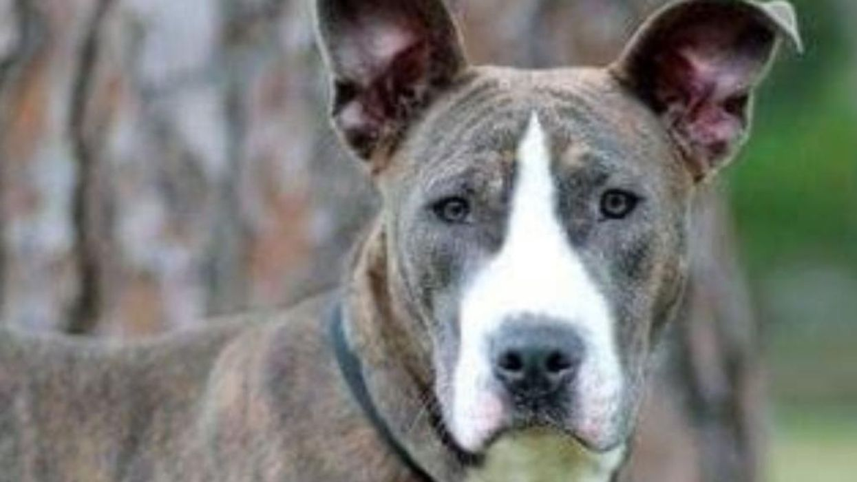 She Love Kids, Other Dogs and Even Cats! Lovable Luna Blu Is Ready for Her Forever Home.