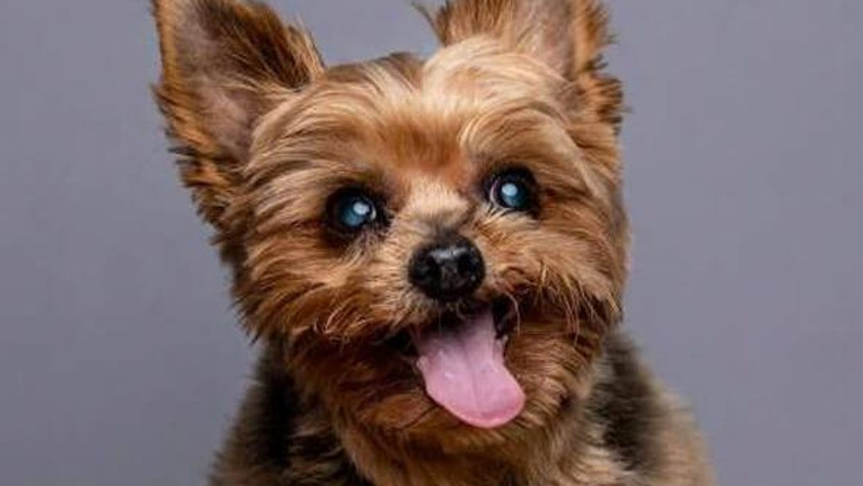 Sweet Senior Yorkshire Terrier Louie Needs a Home — and You Can Meet Him at the Pet Café!